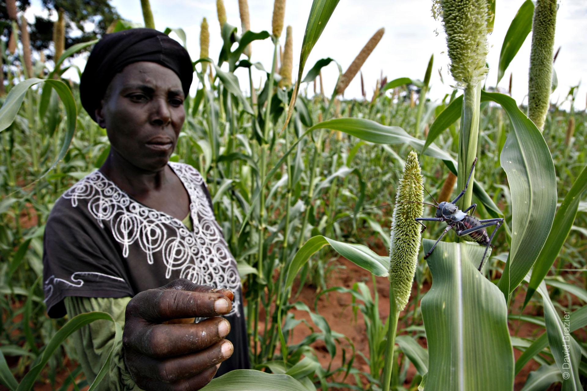 A Zimbabwean women in her pearl millet field catching an armoured cricket
