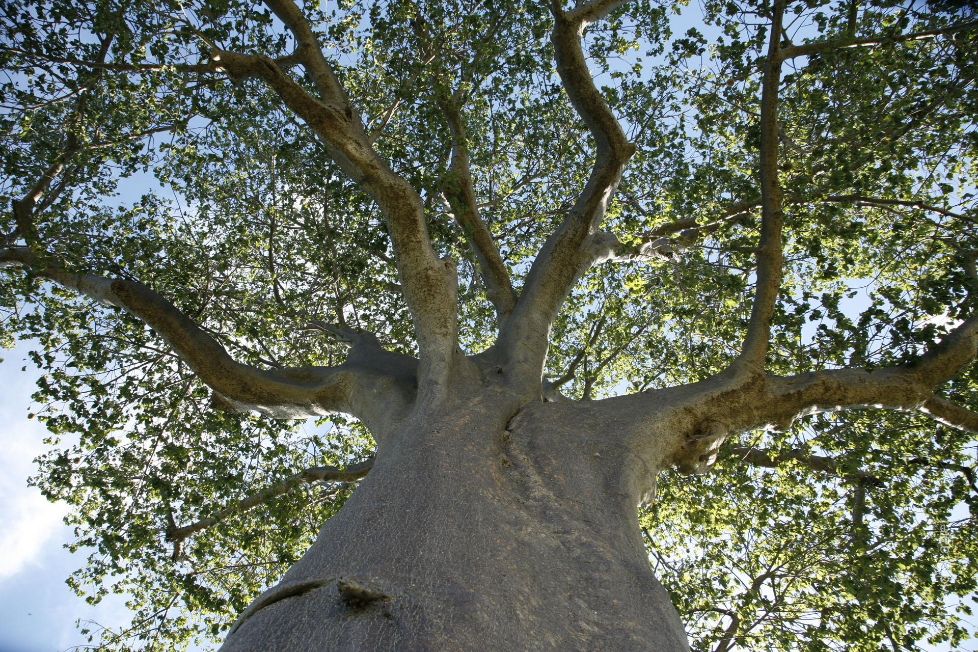 View of baobab tree looking up the trunk into the canopy