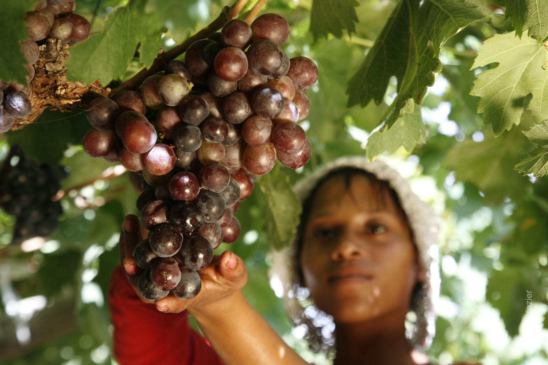 Woman holding a bunch of organic grapes on a vine in the Cape, South Africa