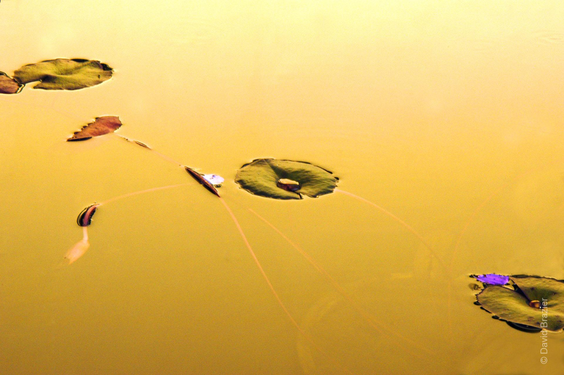 Water lilies in a pond at dusk, golden light