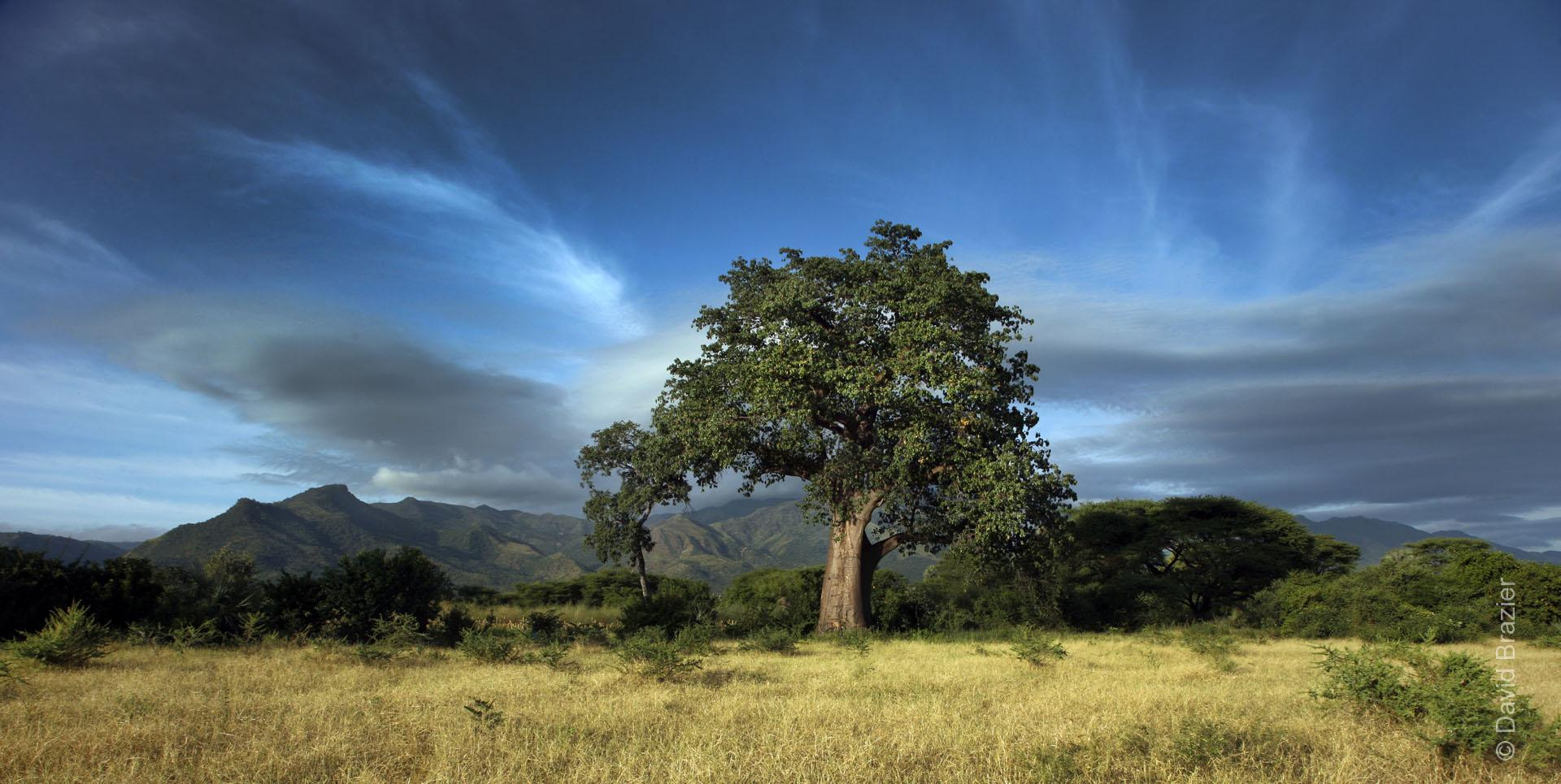 Large baobab tree with mountains in the background and dramatic sky