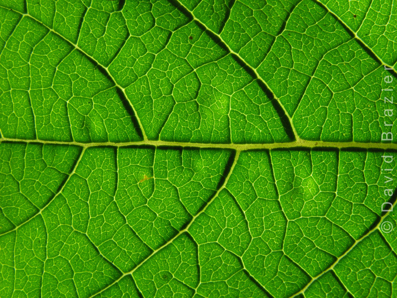 Close up of veins in a leaf with light shining through it