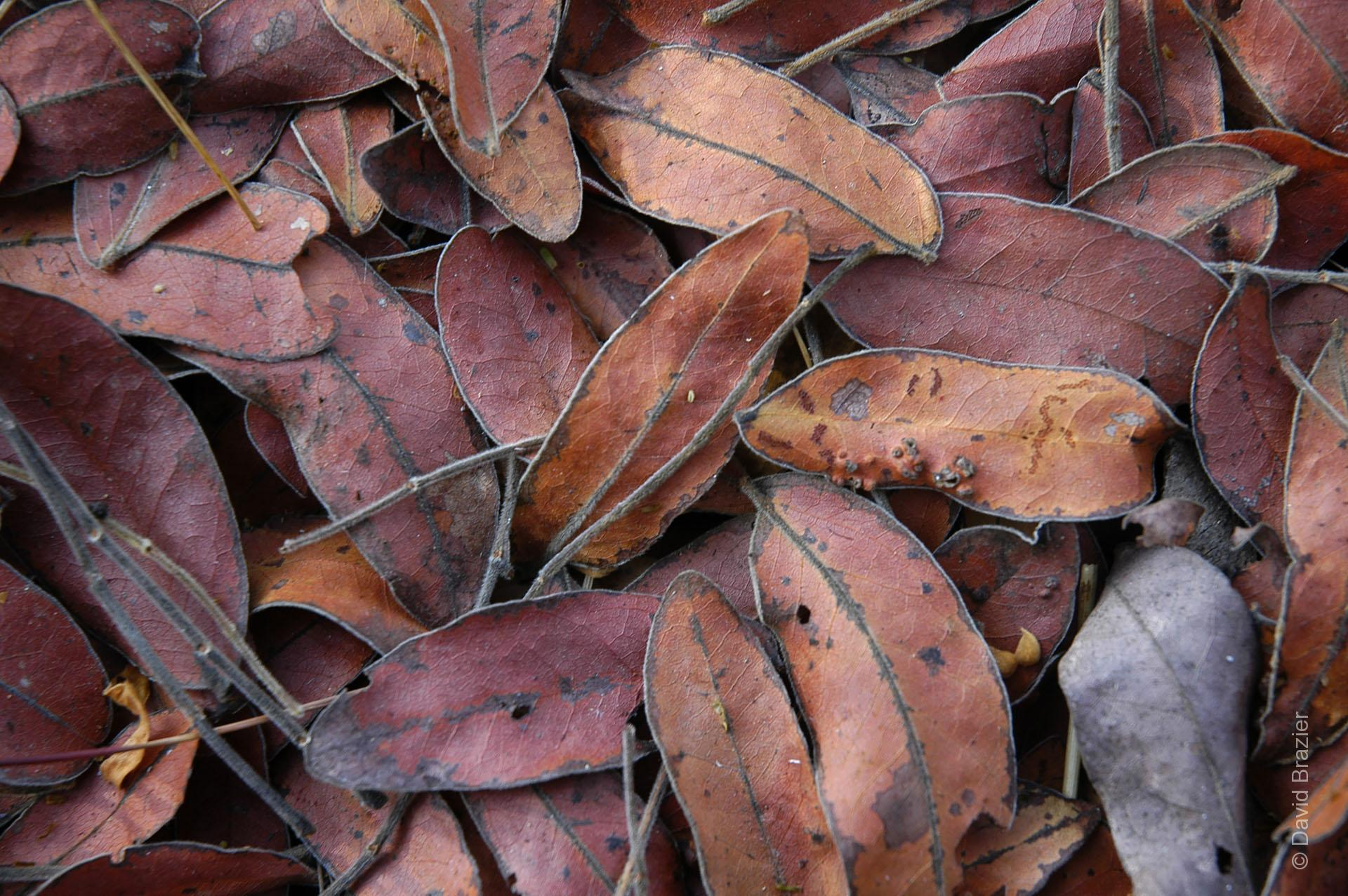 Red and brown dried Msasa leaves on the ground